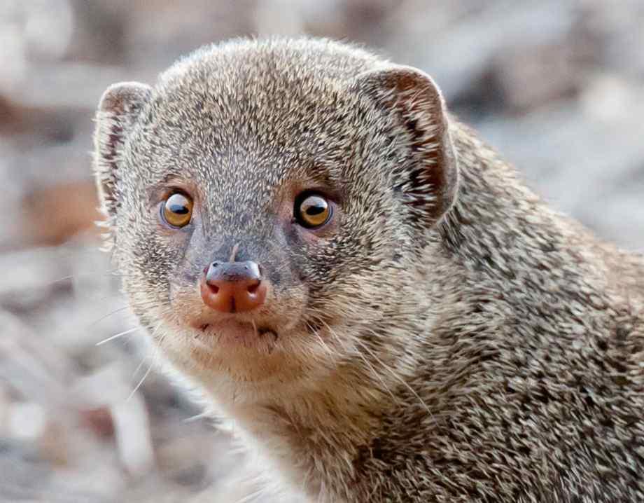 mongoose-2
